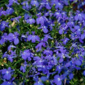 siniset_ja_lilat_kesäkukat_Ritun_Puutarha8