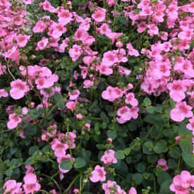 vaaleanpunaiset_kesäkukat_Ritun_Puutarha3
